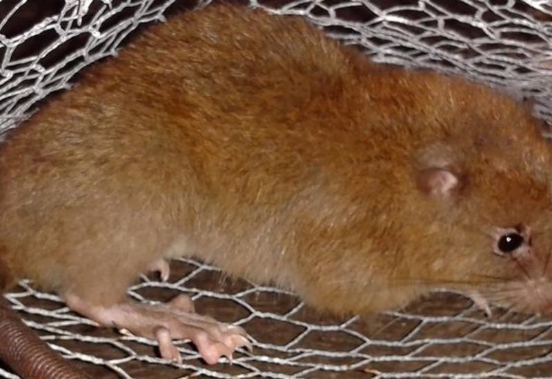 Немецкие учены научили крыс играть в прятки