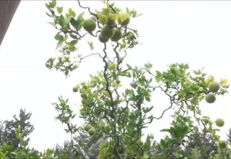 Лянкяранский садовник вырастил семь видов цитрусовых на одном дереве