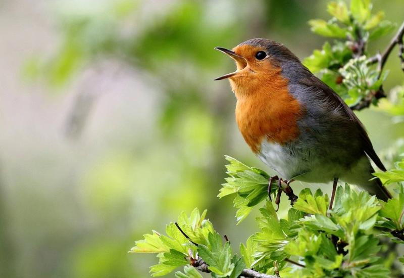 Зачем поют птицы