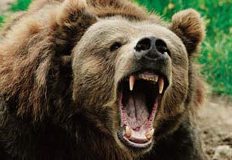 Медведь бегал по улицам в одном из регионов России и бросался на людей