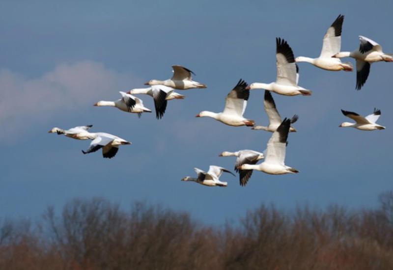В Азербайджане будут изучать редкие и исчезающие виды птиц с помощью GPS
