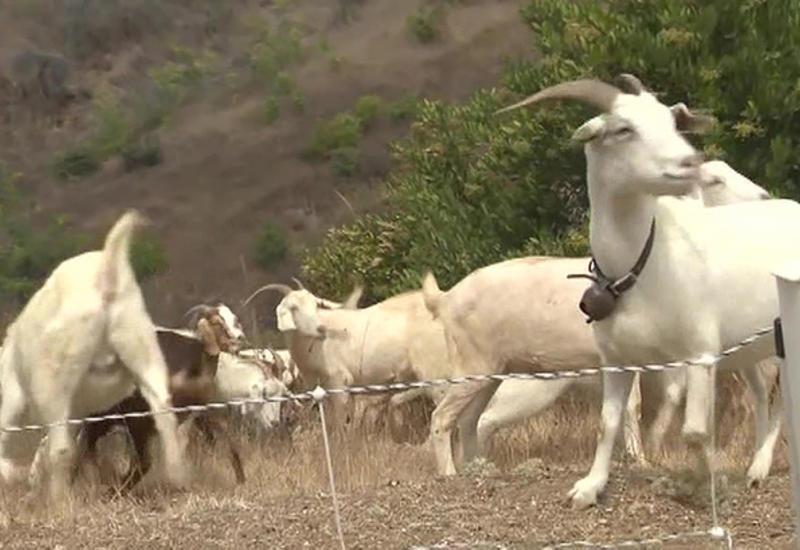 В Калифорнии охранять людей от лесных пожаров поставили коз
