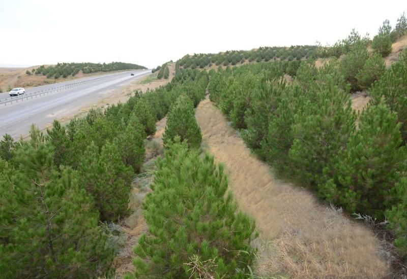 В Азербайджане за один день посадят 650 тысяч деревьев