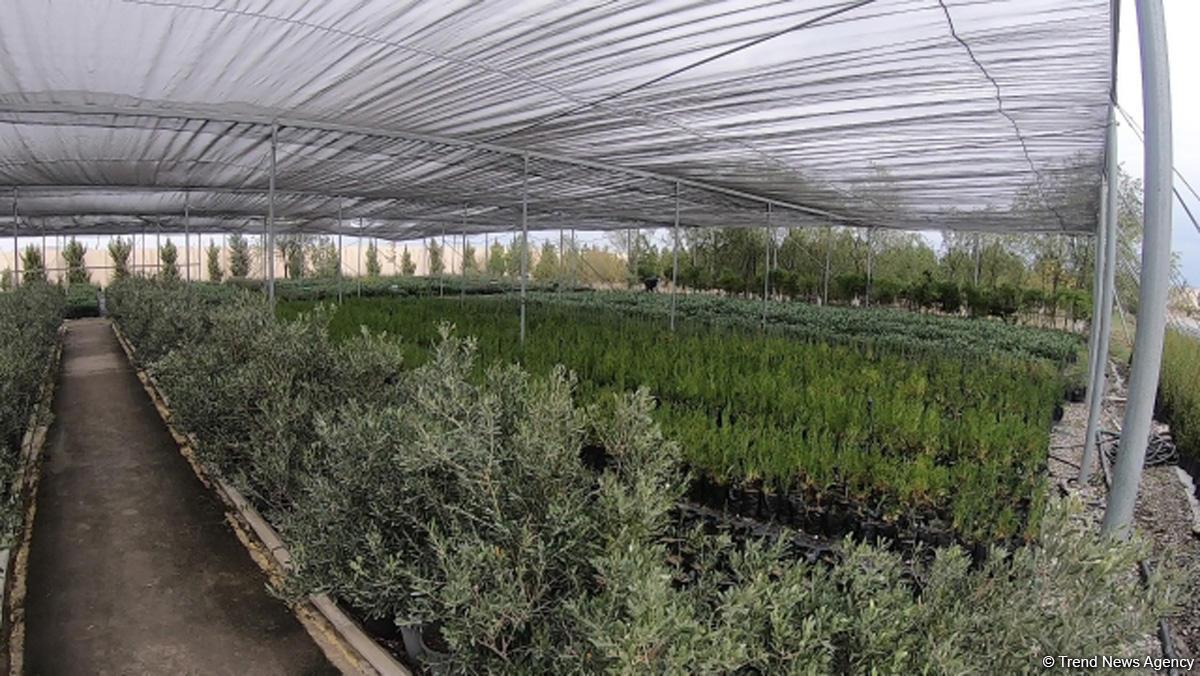 В истории Азербайджана впервые будет высажено 650 тыс. деревьев в один день