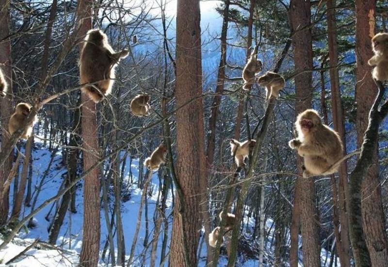 Уникальный парк снежных обезьян в Японии