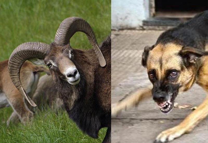 Кошмар в ереванском зоопарке - собаки загрызли трех кенгуру и трех муфлонов