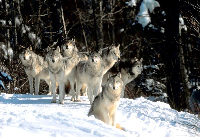 В Азербайджане волки атаковали село