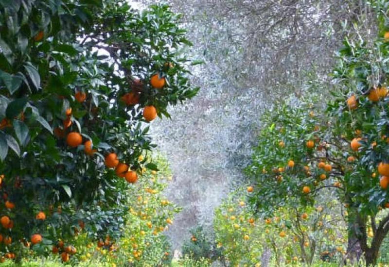 Как азербайджанец создал цитрусовый рай в Мингячевире
