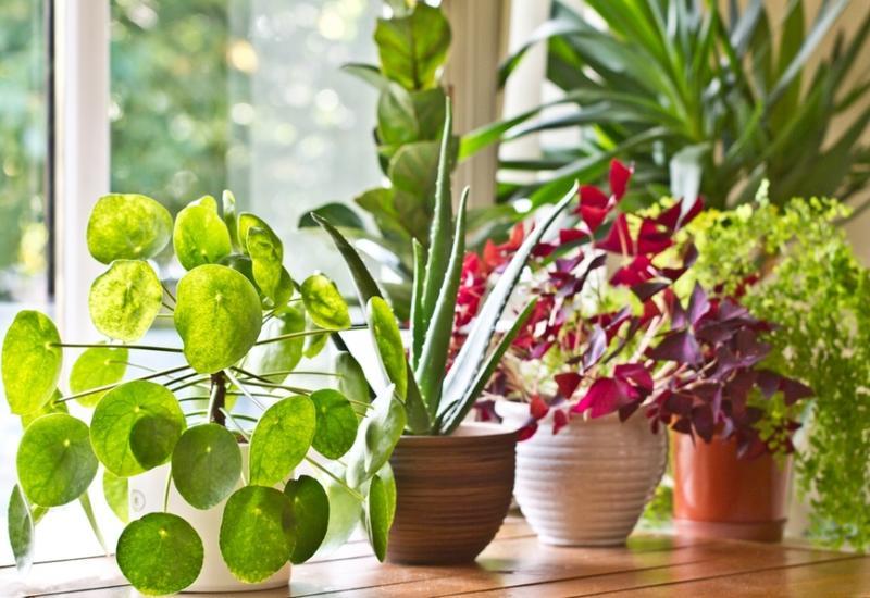Ученые развеяли миф об очищающих воздух комнатных растениях