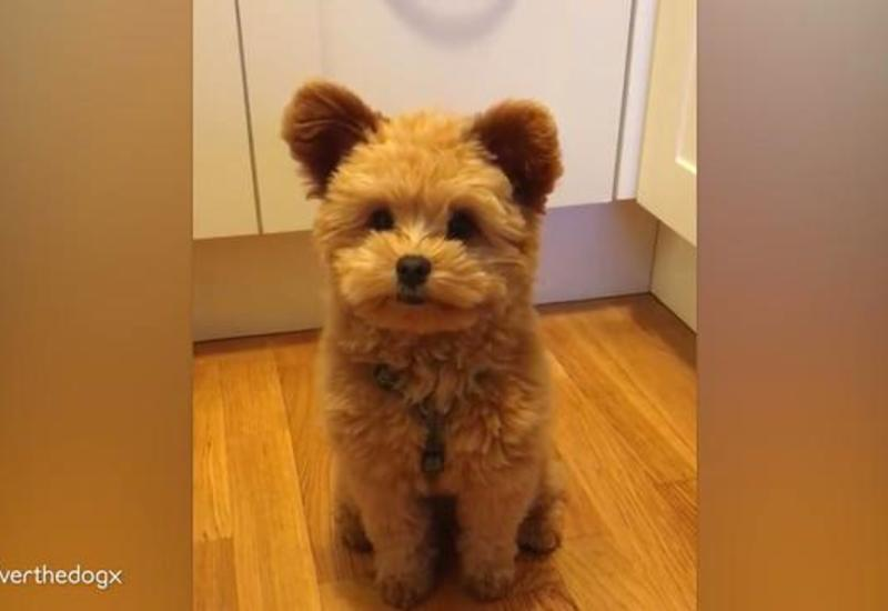 Собака прославилась в Сети сходством с плюшевым мишкой