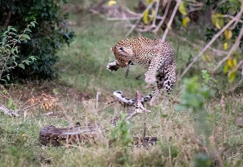 Питон выбрал неправильную добычу, напав на леопарда вместо антилопы