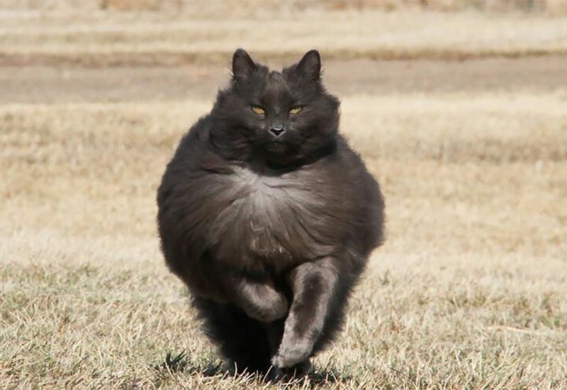 Сигмонт - самый красивый кот с пушистой шерстью на свете