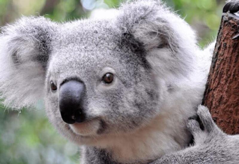 Рискуя жизнью, женщина спасла коалу в лесном пожаре в Австралии