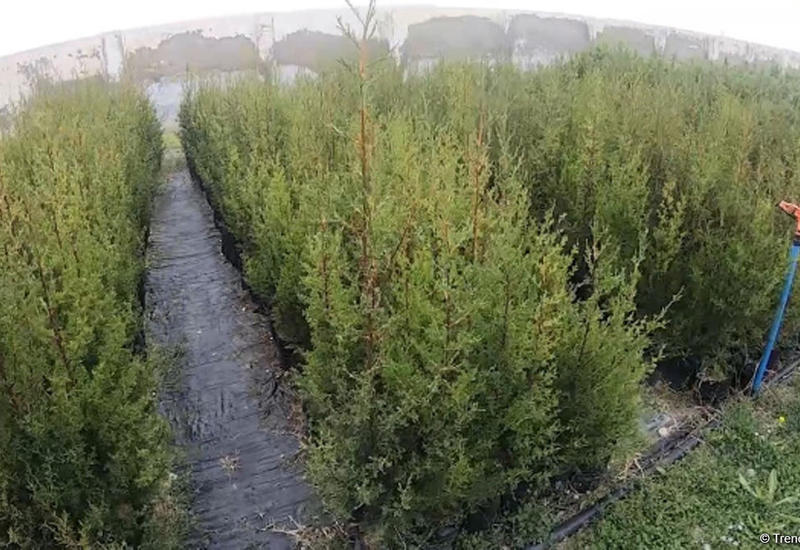 В одном из районов Азербайджана будет озеленен придорожный участок основной автомагистрали