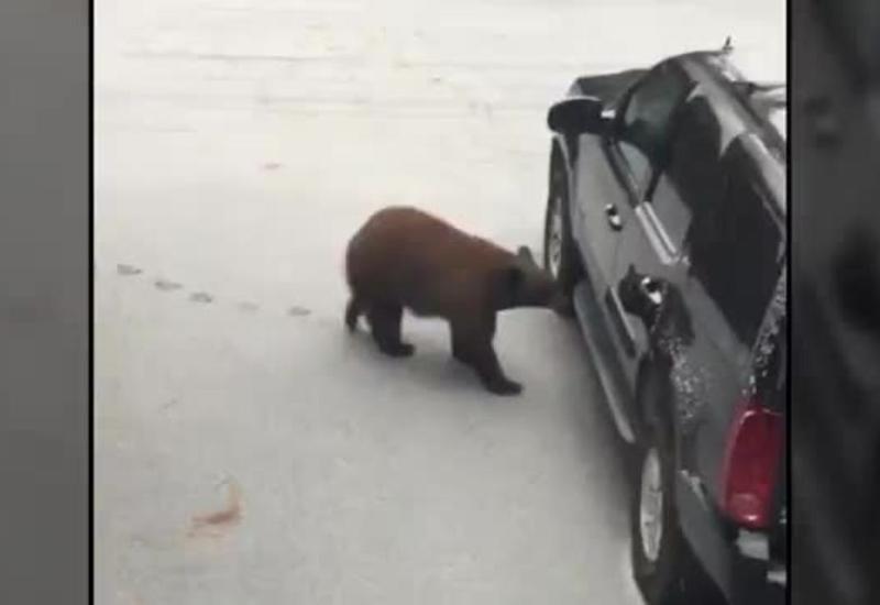 Бурый медведь попытался угнать машину в Калифорнии