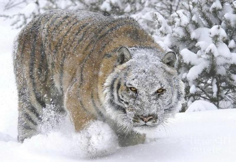 Тигр вышел из леса на дорогу и сопровождал машину