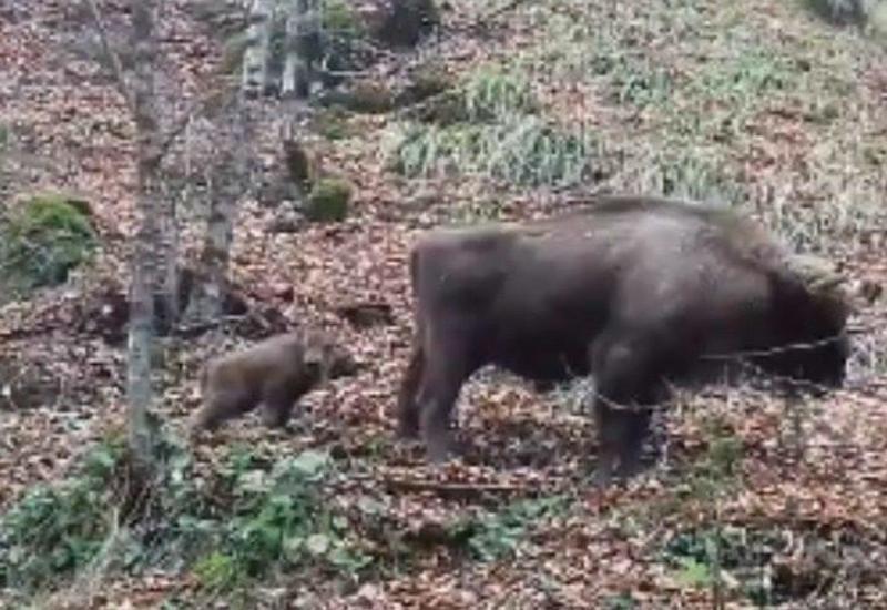 В Шахдагском национальном парке родился детеныш зубра