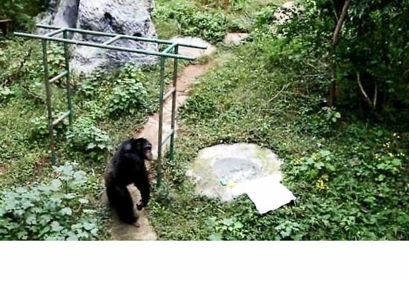 Шимпанзе постирал одежду смотрителя в китайском заповеднике