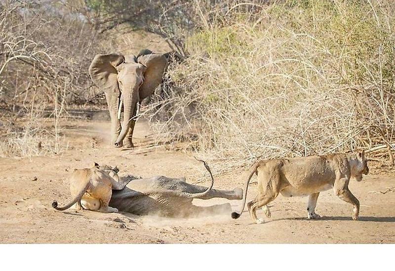 Слониха отбила своего детёныша у голодных львиц