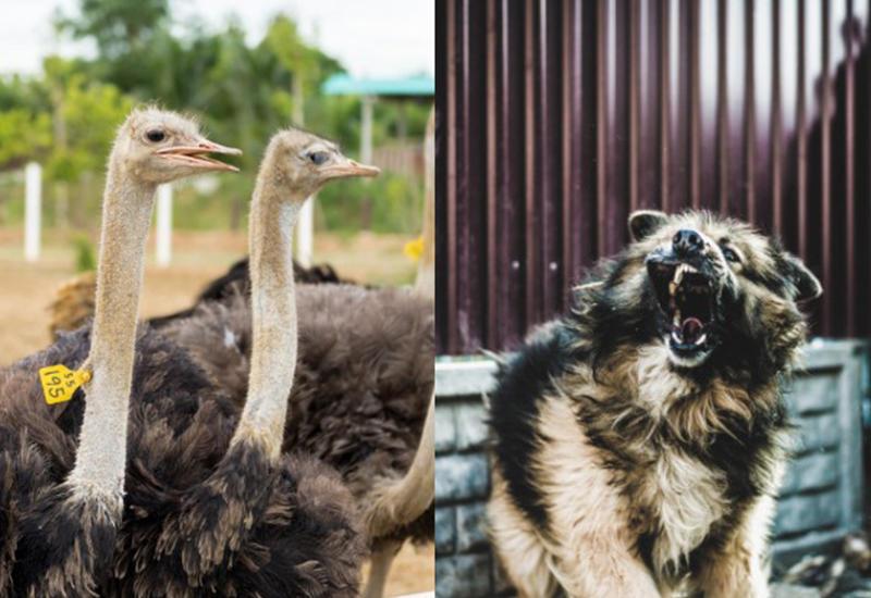 В Армении бродячие собаки загрызли 25 страусов - на очереди люди?