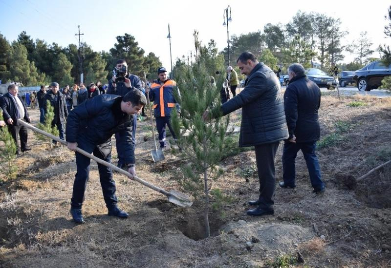 В связи с 650-летием Насими в Нафталане посадили тысячи деревьев