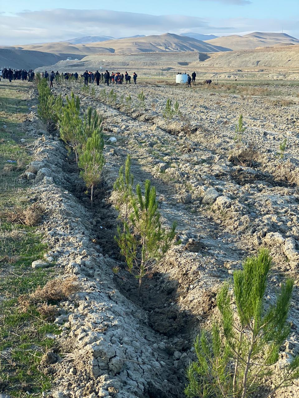 В Хызы прошла акция по посадке деревьев