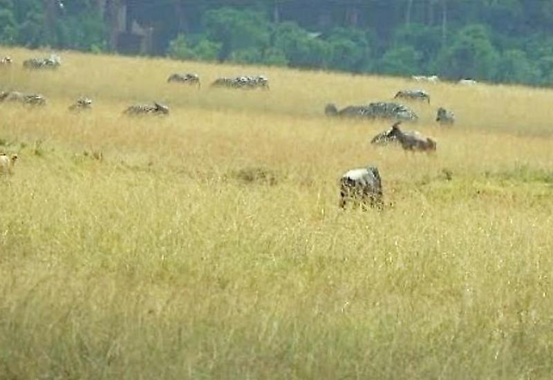 Антилопа слишком поздно заметила крадущуюся к ней львицу