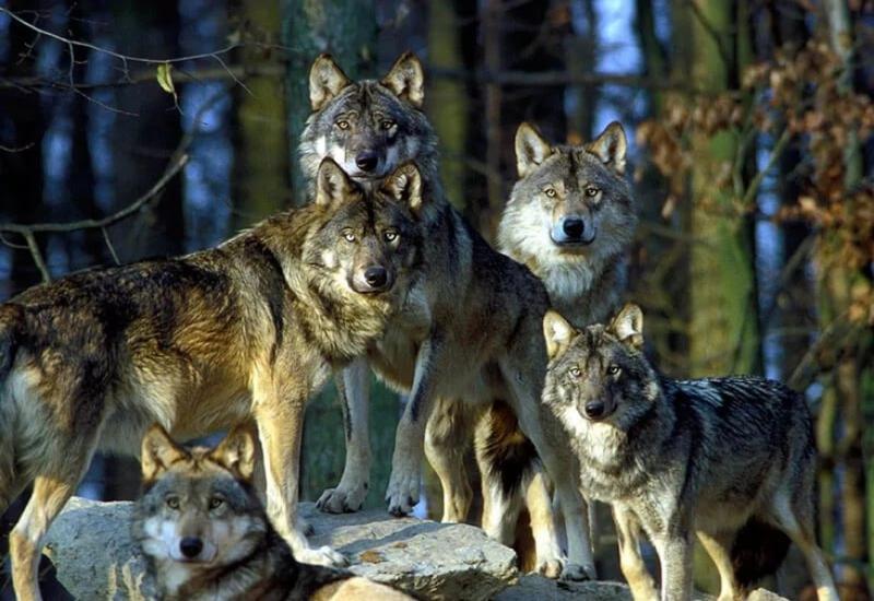 Стая волков устроила погоню за авто на трассе в Татарстане