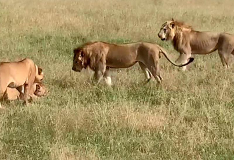 Гиены украли добычу из-под носа дерущихся львов и попали на камеры
