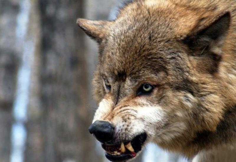 Ученые воспитали у волка привязанность к человеку, свойственную собакам