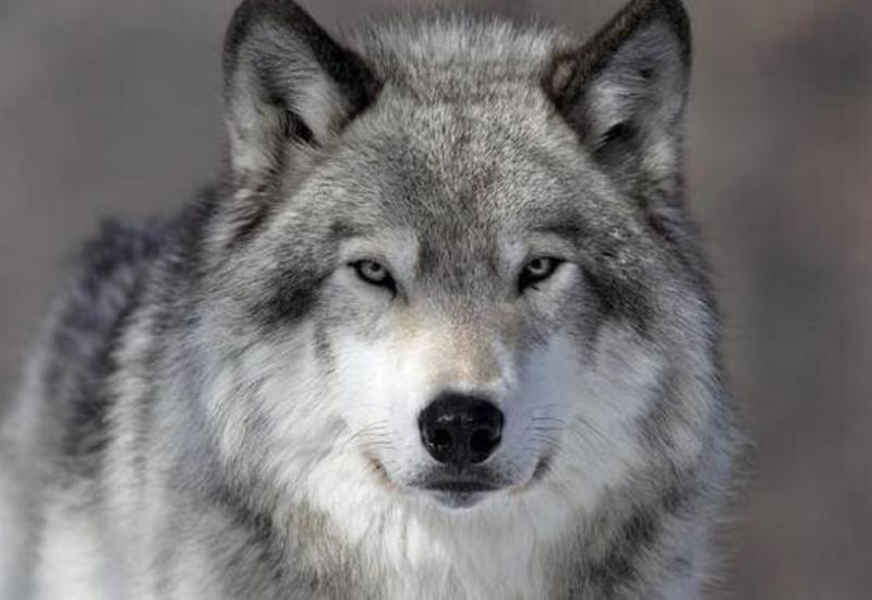 Преданный волк помог разыскать потерявшеюся девочку