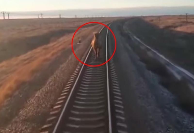Упрямый верблюд притормозил поезд из Ташкента в Москву