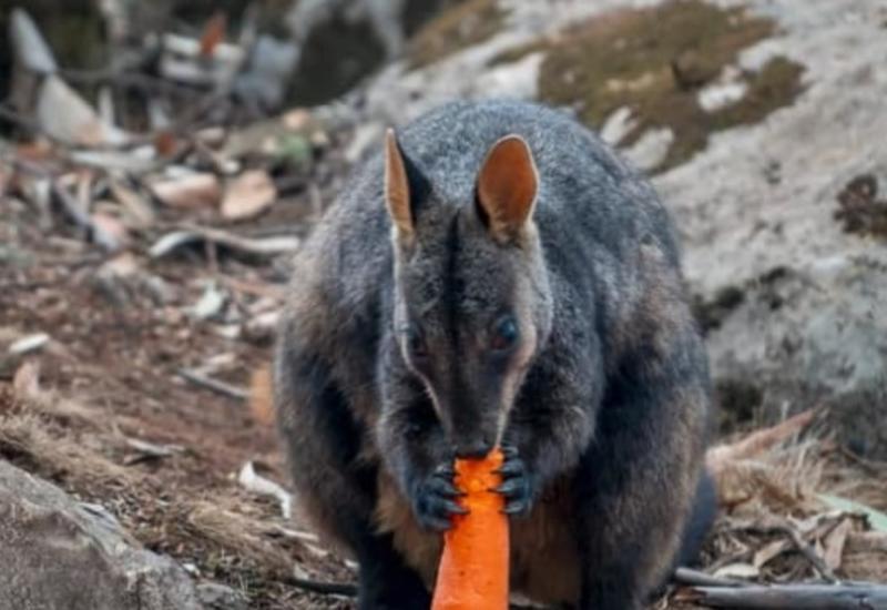 В Австралии с воздуха сбросили пищу пострадавшим при пожарах животным