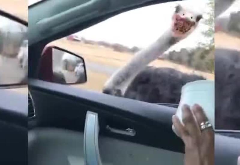 Агрессивные страусы украли еду у оленя и довели женщину до истерики