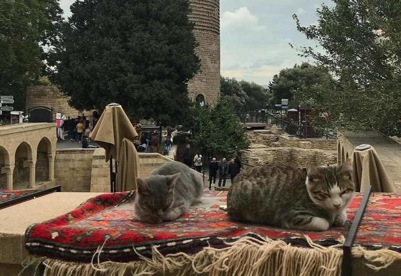 Весь Баку в одном фото - Кошки в Ичеришехер