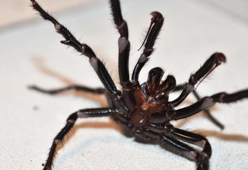 Австралию после лесных пожаров атаковали ядовитые пауки