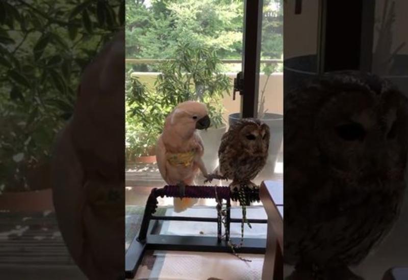 """""""Влюбленный"""" попугай попытался добиться взаимности у совы"""