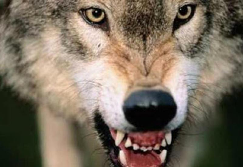 В Баку волк искусал 54-летнего мужчину