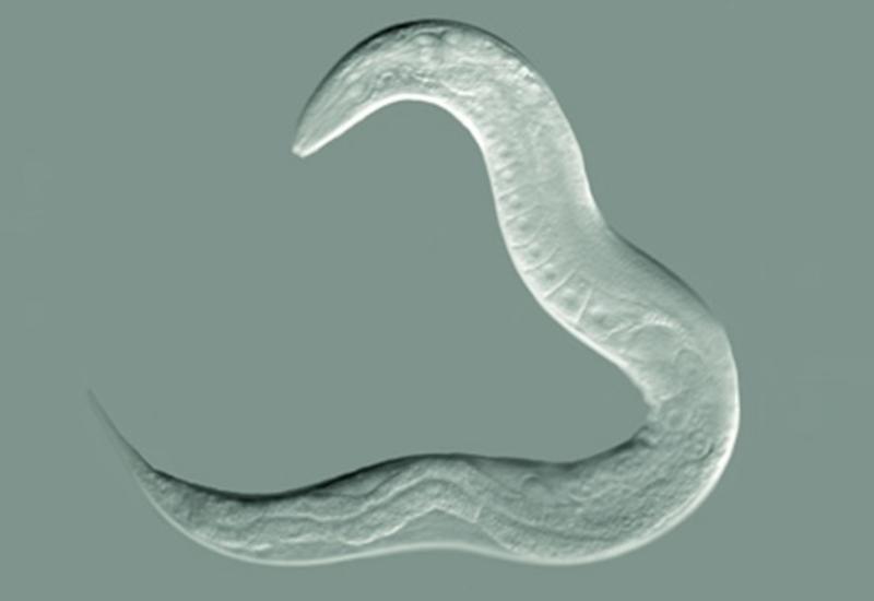 Японцы начали использовать червей для диагностики рака
