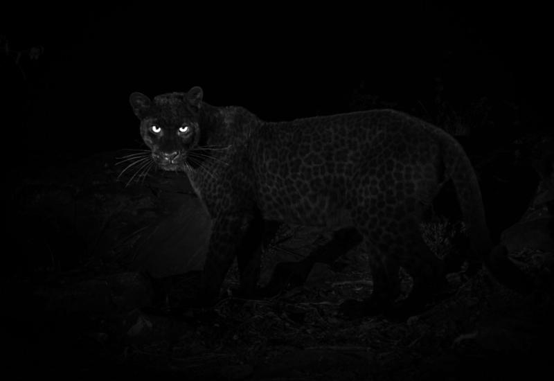 Редчайшего черного леопарда впервые сняли на камеры