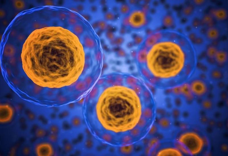 Раскрыта тайна белка, превращающего стволовые клетки в органы