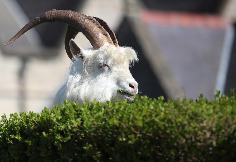 Дикие козы заполонили опустевший Уэльс