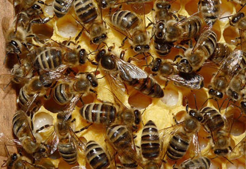 Загадочное массовое исчезновение пчел объяснили
