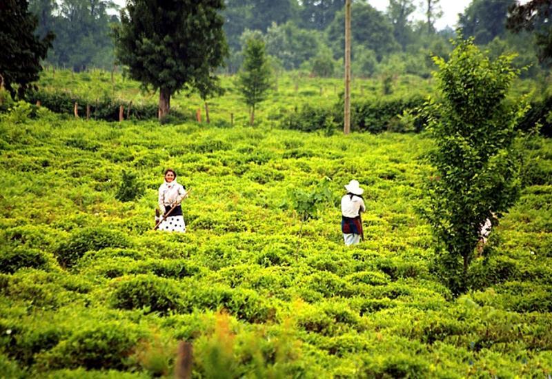 ЕБРР поддерживает чайную индустрию Азербайджана