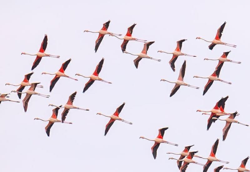 Фламинго в Азербайджане - Птицы в объективе Лекина