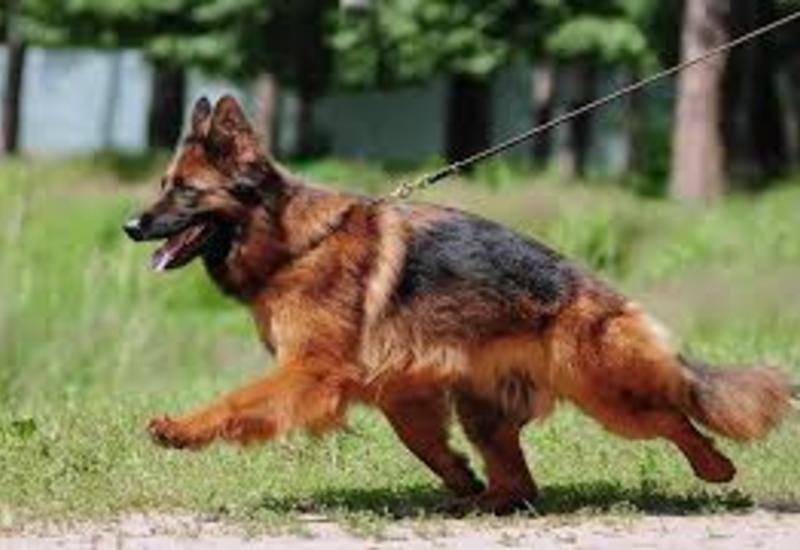 В США обнаружили первый случай коронавируса у собаки