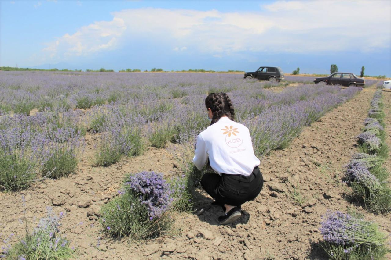 Волонтеры Агентства по развитию МСБ Азербайджана оказывают помощь фермерам