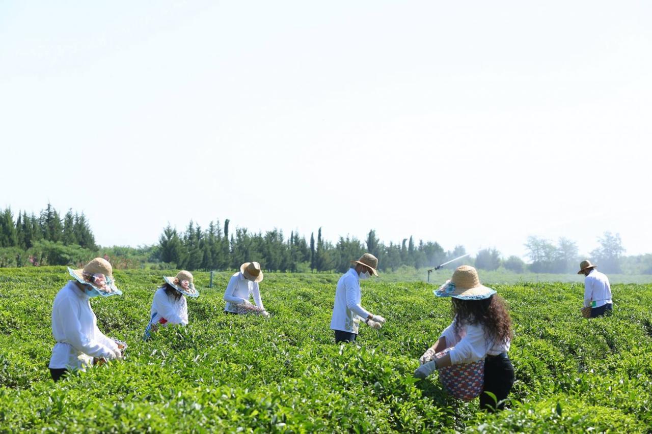Волонтеры Агентства по развитию МСБ приняли участие в сборе чая в Лянкяране