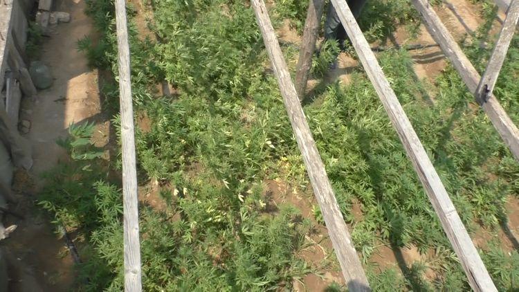 В Баку задержан человек, выращивавший коноплю на даче