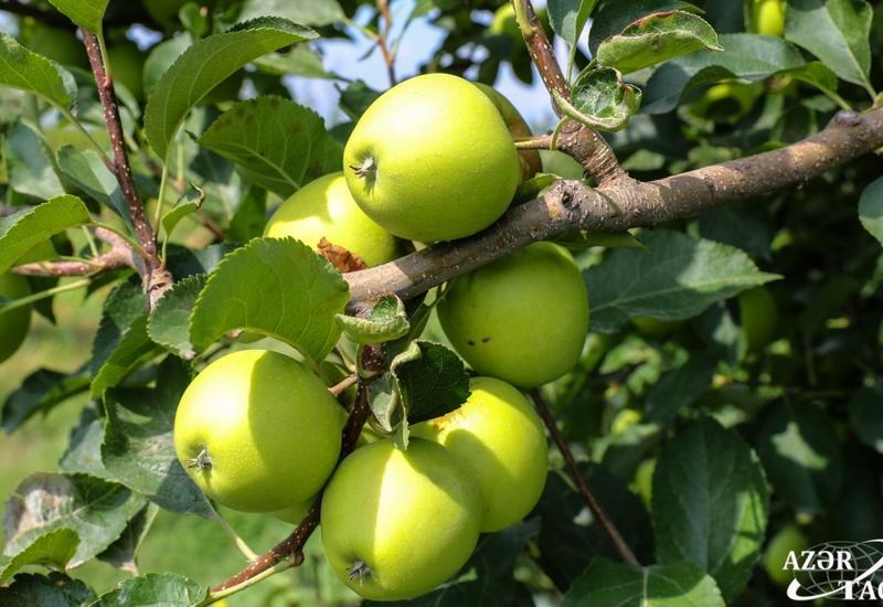 Плодоносящие сады Губы